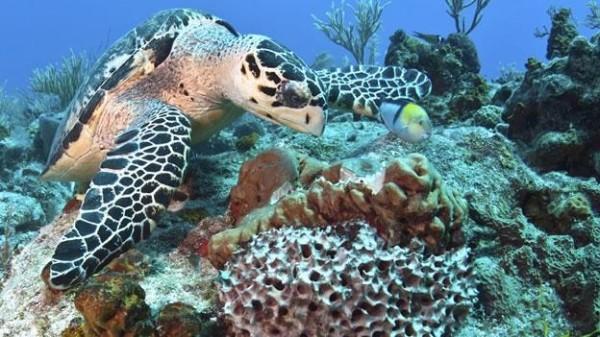 Tortuga arrecifes